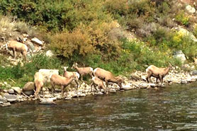 A herd of big horn sheep in and near the Arkansas River at 4 Seasons RV Resort, Salida, Colorado