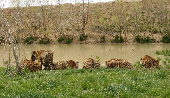 Rescued Tigers Sharing a Drinking Hole at The Wild Animal Sanctuary in Keenesburg, Colorado
