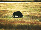 Buffalo Grazing near Strasburg, Colorado