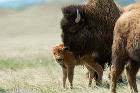 Bison with calf at Soapstone Prairie Natural Area in Colorado