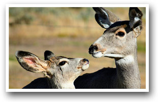 Mama deer and baby deer, Colorado Vacation Directory