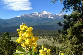Flower blooming with snow capped mountains in the distance in Rocky Mountain National Park, Colorado