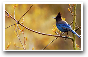 Stellars Jay, Colorado, Colorado Vacation Directory