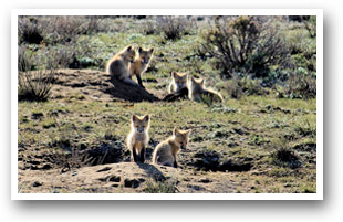 A fox den near Hot Sulphur Springs, Colorado, Colorado Vacation Directory