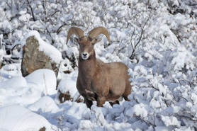 Big Horn Sheep in the snow at Archer's Poudre River Resort in the Poudre River Canyon near Fort Collins, Colorado
