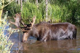Moose drinking while crossing river at Archer's Poudre River Resort in the Poudre River Canyon near Fort Collins, Colorado
