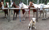 Dog with Horses at Bear Mountain Stables in Conifer, Colorado