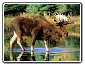 Colorado Moose, Wildlife Viewing