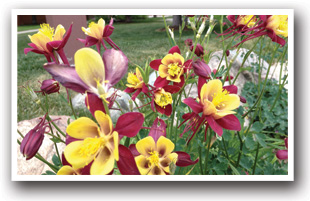 Main Street Frisco is Bursting with Flowers all Summer Long Columbines are Featured, Colorado Vacation Directory