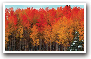 Bright Orange Aspen Trees Near The Town Of Walden Colorado